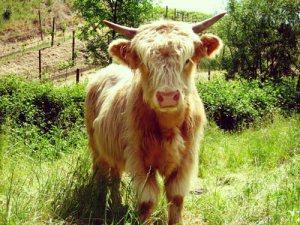 scottish highlander cow