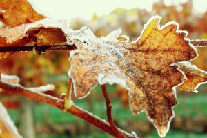 Frosty_Leaves_13
